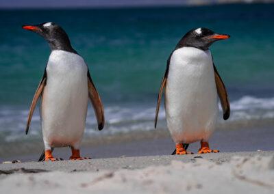 Falklandyzvirata